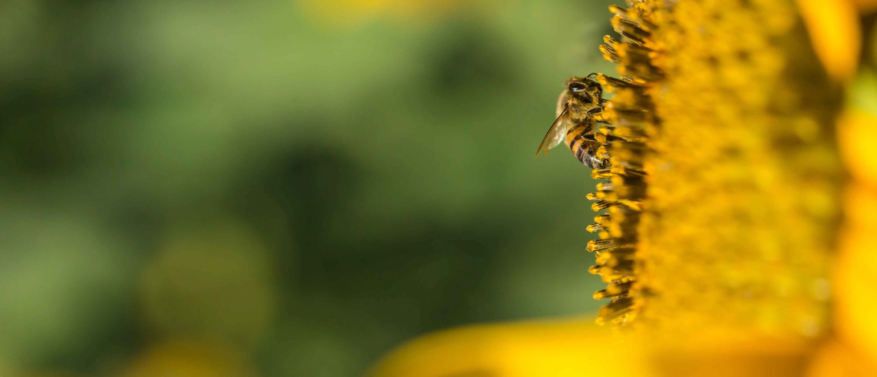 Close up image of a bee pollinating a sunflower.